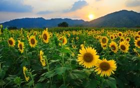 Картинка поле, солнце, подсолнухи, цветы, природа, холмы