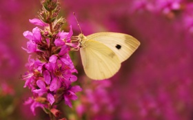 Обои цветок, нектар, насекомое, природа, бабочка, крылья