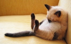 Картинка поза, спит, Сиамский котенок