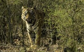 Картинка зелень, кошка, взгляд, тигр, хищник