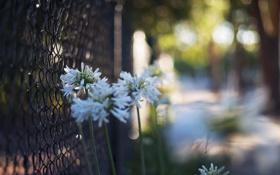 Обои цветы, забор, ограда, лепестки, белые