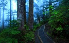Картинка лес, деревья, природа, туман, фото, тропа