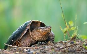 Обои природа, фон, черепаха