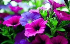 Обои клумба, лепестки, петуния, цвет, листья, природа, сад