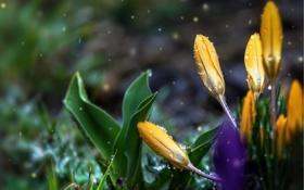 Обои капли, цветы, крокусы