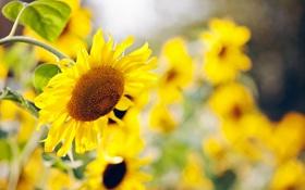 Картинка листья, подсолнухи, цветы, природа, желтые, размытость