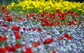 Картинка цветы, поляна, маки, красные, клумба, полевые