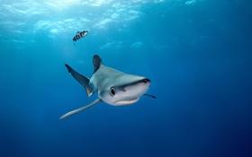 Обои Blue Shark, Azores, Portugal
