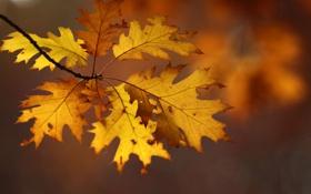 Картинка листья, ветка, осенние, дубовые