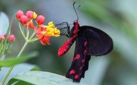 Обои бабочка, черная, цветы, красная, цветок