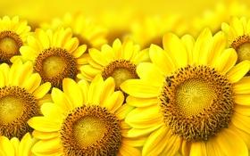 Обои пчёлы, боке, цветы