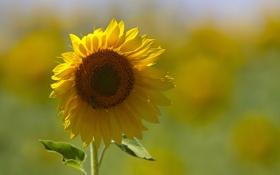 Картинка желтый, подсолнух, пчела. фон