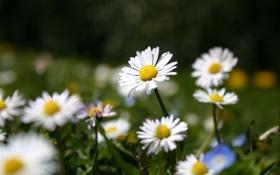 Обои лето, трава, цветы, поляна, ромашки, белые