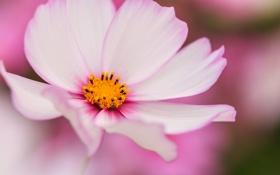 Картинка цветок, макро, космея, бело-розовая