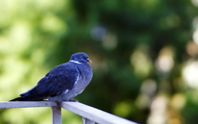 Картинка природа, фон, птица, голубь