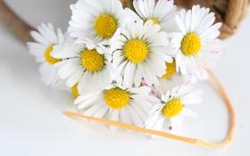 Обои цветы, ромашки, лента, flowers, chamomile, tape