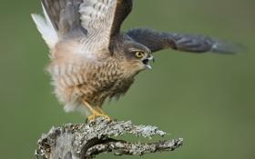 Обои птица, крылья, ветка, сокол, крик