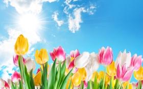 Обои тюльпаны, розовые, небо, солнце, весна, желтые