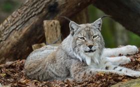 Обои морда, отдых, хищник, лежит, уши, рысь, дикая кошка