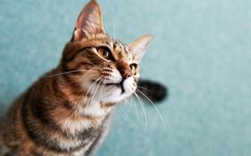 Обои кот, морда, кошак, смотрит, котэ