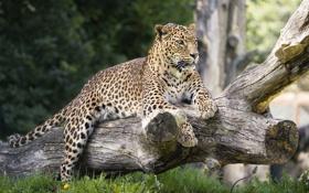 Картинка дикая кошка, морда, бревно, отдых, лапы, хищник, лежит
