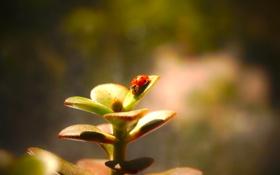 Обои макро, растение, божья коровка, насекомое