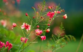 Обои цветы, куст, розовокррасные