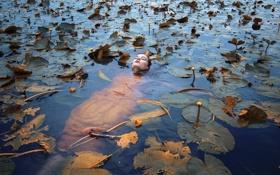 Обои девушка, в воде, кувшинки, Float