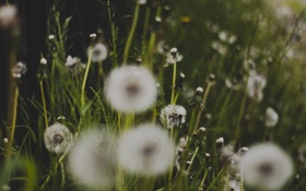 Картинка трава, одуванчики, много