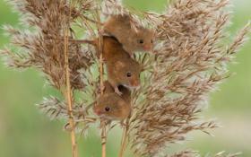 Обои камыш, мыши, трио, троица, Harvest Mouse, Мышь-малютка