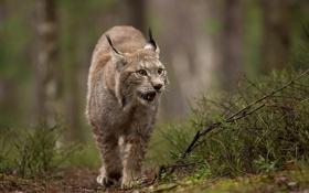 Обои лес, природа, животное, хищник, дикая кошка, Рысь