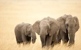 Обои слоны, хобот, стадо