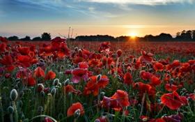 Картинка поле, пейзаж, закат, природа, маки