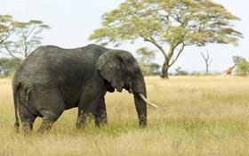 Обои слон, Африка, сафари