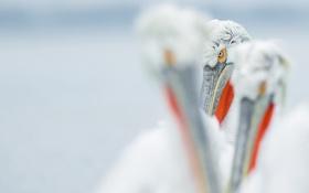 Обои взгляд, птицы, пеликаны, пеликан