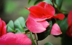 Картинка макро, цветы, розы, лепестки