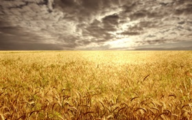 Картинка пшеница, поле, тучи, горизонт