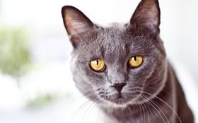 Картинка кот, глаза, желтые, морда, серый, усы, взгляд