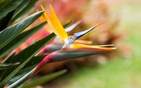 Картинка листья, цветок, стрелеция, фон