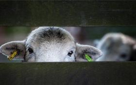 Картинка взгляд, забор, овца