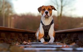 Обои фон, собака, железная дорога