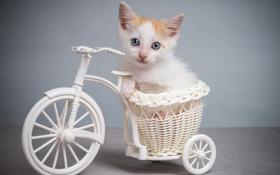 Картинка велосипед, котенок, голубоглазый
