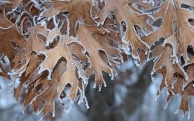 Обои иней, осень, листья, природа, кристаллы