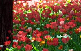 Обои цветы, природа, дерево, Тюльпаны, ствол