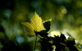 Обои клен, лето, green, тень, зелень, листья, обои