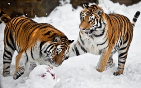 Обои снег, кошки, тигр, игра, мяч, пара, амурский