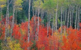 Обои багрянец, листья, осень, деревья, осина, лес, береза