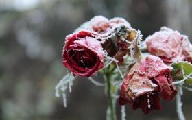 Обои иней, снег, лепестки, розы, цветы