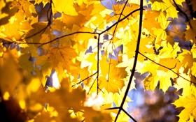 Обои осень, листья, клён