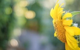 Картинка макро, цветы, желтый, фон, widescreen, обои, подсолнух